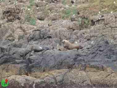 Australian Sea Lions on the rocky mountains.