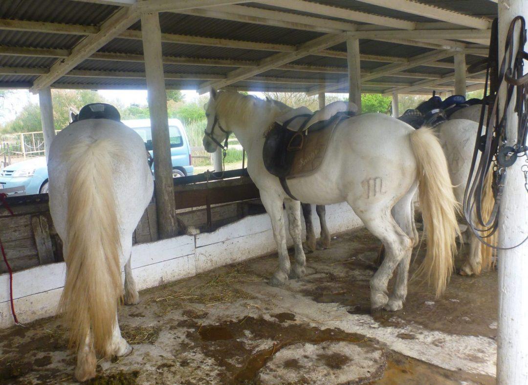 Horses of Camargue France