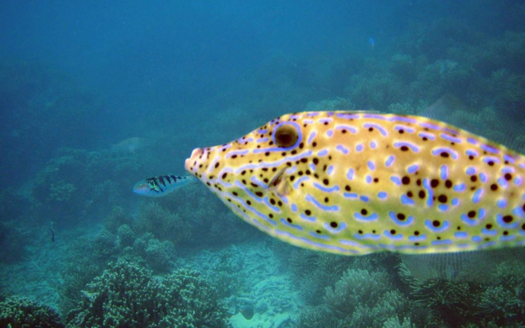 scrawled filefish - Aluterus scriptus a yellow fish with black dots and blue lines