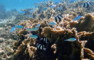 three Stripe Damselfish under sea water