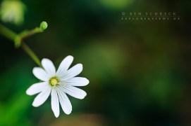 Sternmiere-weiße-Blume-5485
