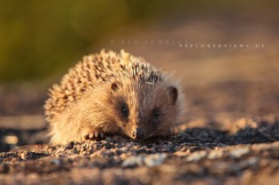 Hedgehog on a wall