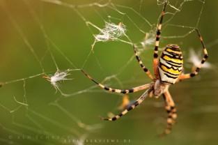 Netzwerk Wespen Spinne