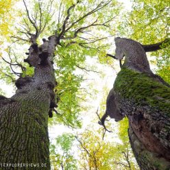 Zwillings Eichen Auvergne