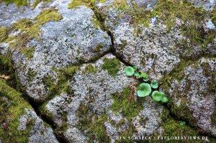 Pflanzen auf Megalith Bretagne