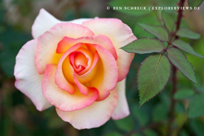 Rose Blume Pfirsich farben