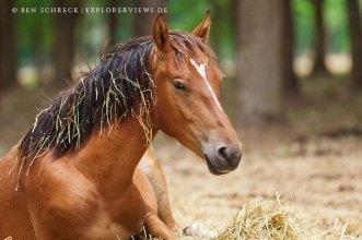 Pferd müde