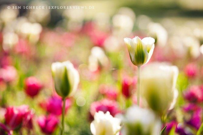 Tulpen Lamballe