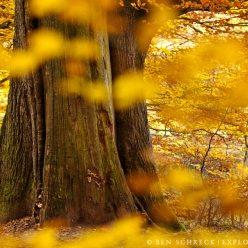 Herbstwald alte Eiche