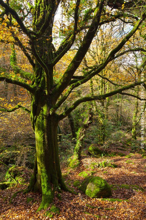 alte Buche im Wald