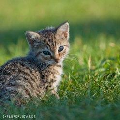 Katzenkind auf einer Wiese
