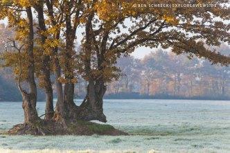 knorrige Eichen bei Frost