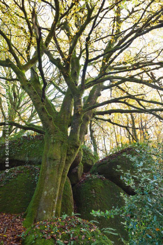 riesige Buche im Herbst