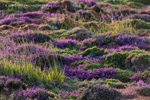 Heide Gras Landschaft
