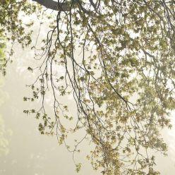 Bäume im Frühlingsnebel