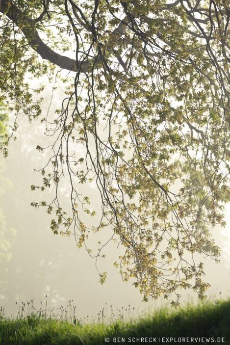 Bäume im Frühlingsnebel 8229