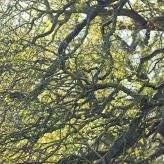 Baumstruktur einer Eiche im Fühling