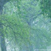 Eichenkronen im Nebel