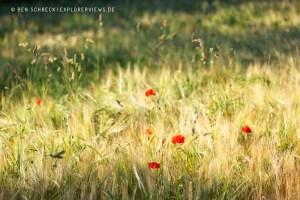 Mohnblumen Sommer 4925