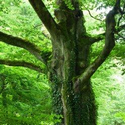 Baum Gestalt Normandie 5548