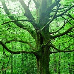 Baum Gigant 5626