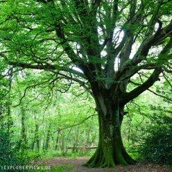 Magische Bäume Alte Buche im Wald Normandie 5409