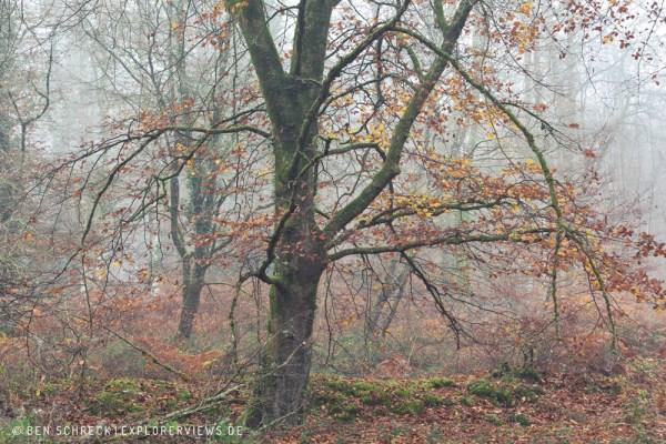Buche im Nebelwald 0262