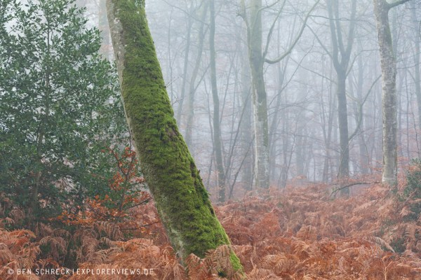Nebel im Wald Normandie 0208