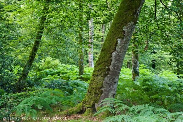 alte Buche im Wald 5290