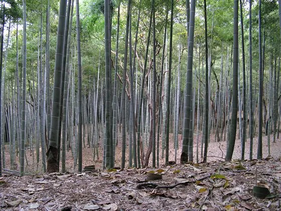 Shows a bamboo forest typical of Kyoto Forest Bathing