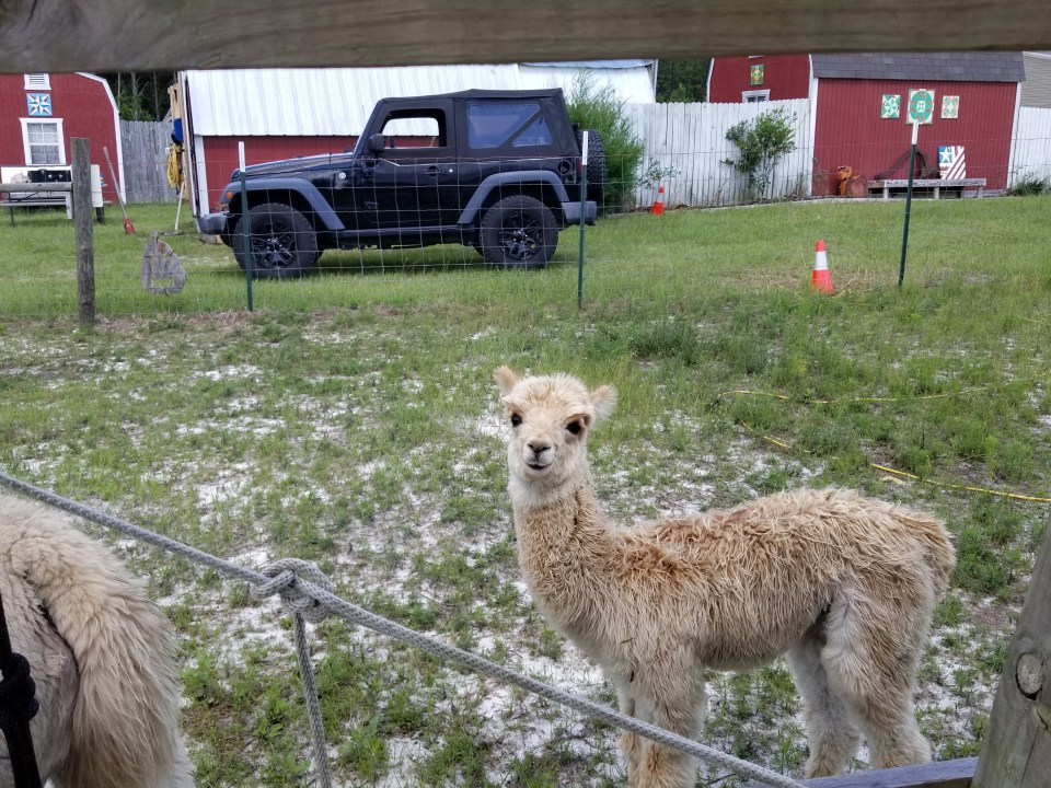 A baby alpaca curiously watching me at our cozy farm stay