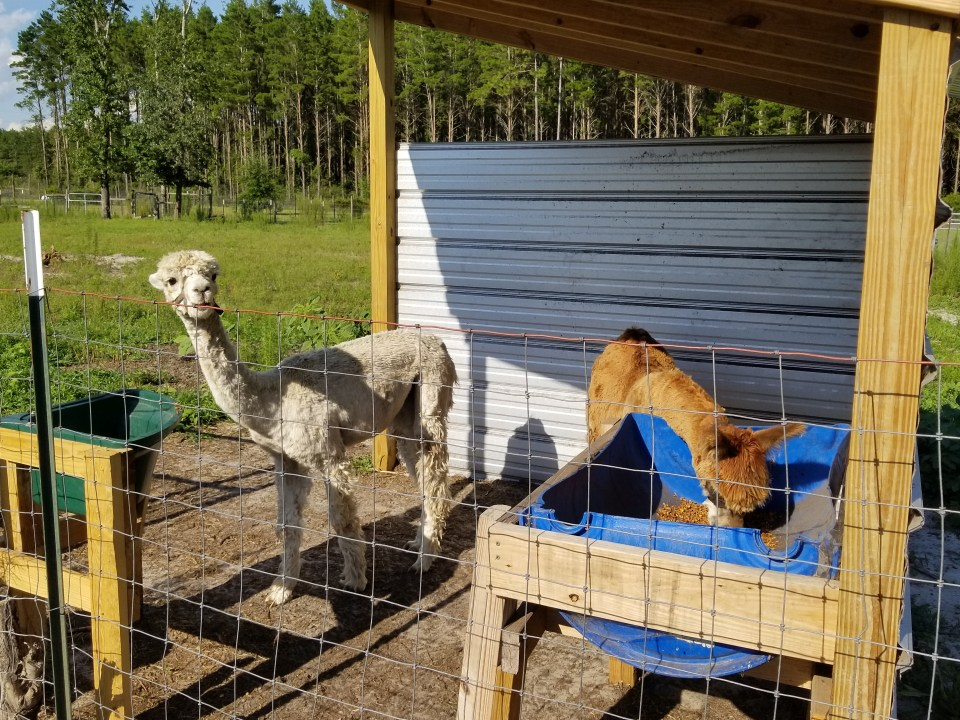 An alpaca stops eating to watch me at our cozy farm stay at Home Field Advantage