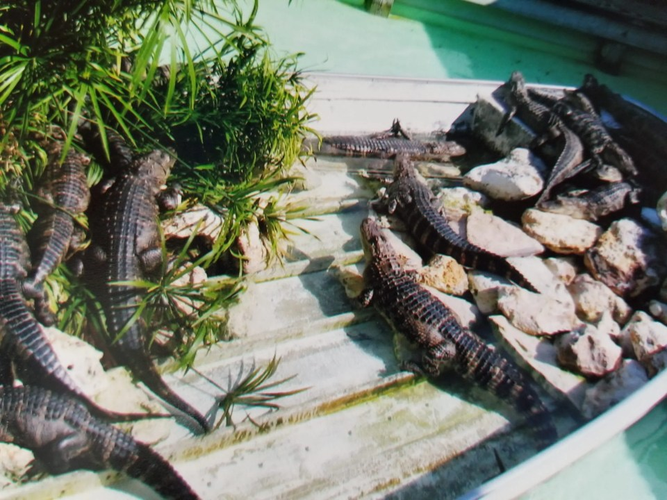 Things to do in Orlando: shows baby alligators at Gatorland