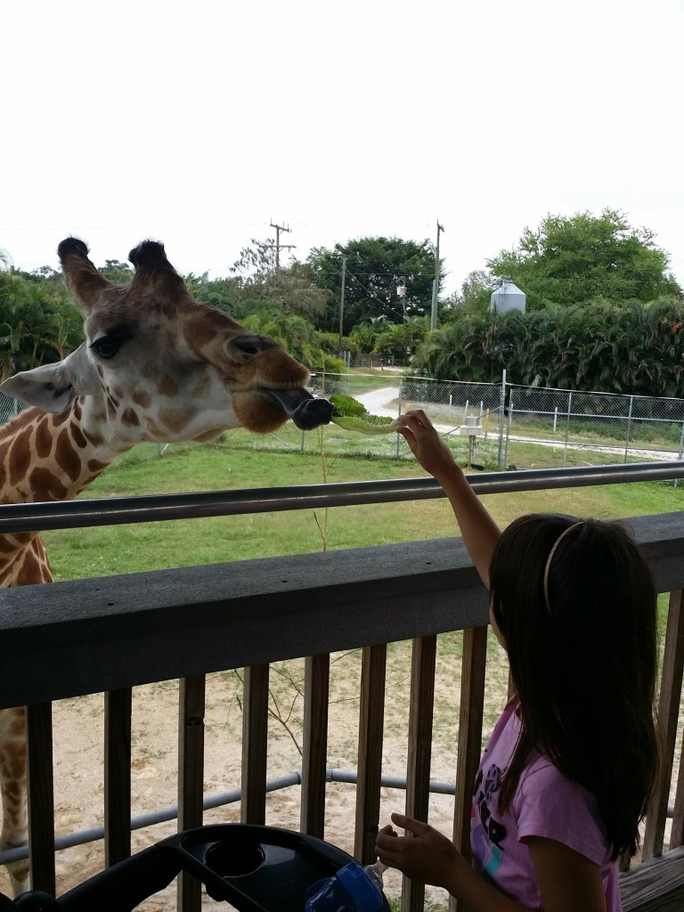 Feeding a giraffe is something to do in South Florida for families, as this girl is seen doing at Lion Country Safari in Palm Beach