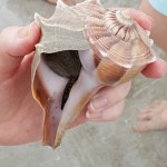 someone holding a conch shell