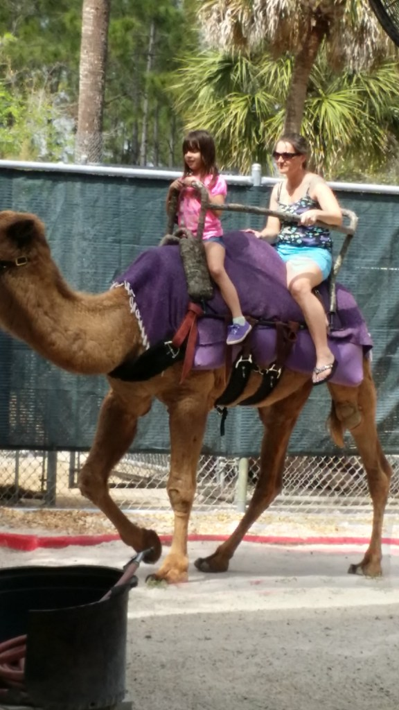 Ride a camel at Miami Zoo, example of things to do in South Florida for families