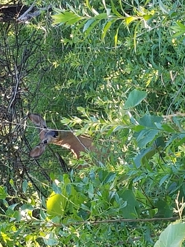 A deer hiding in the trees on South Shore Long Island