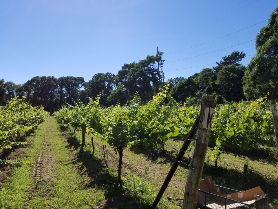 south shore Long Island vineyards at Meadowcroft Estate