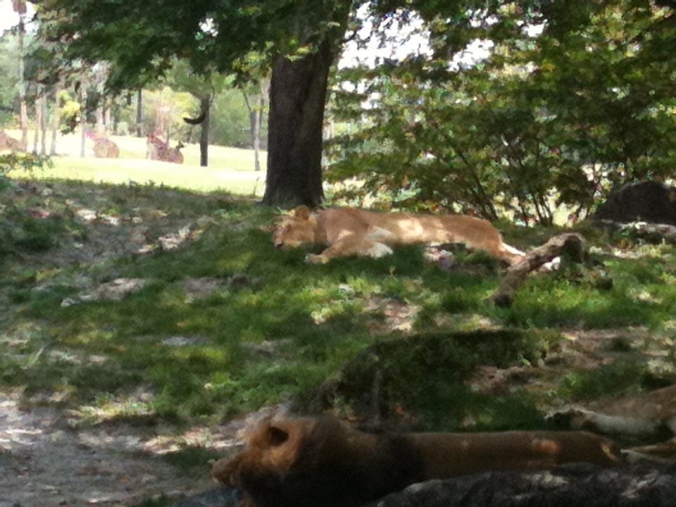 two lions sleeping in the shade