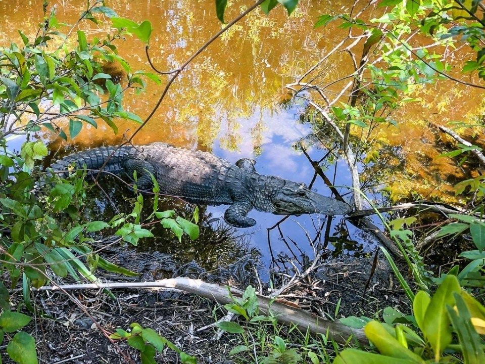 fall foliage and an alligator in the Everglades