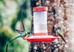 close photo of two humming birds eating in Salento Colombia photography