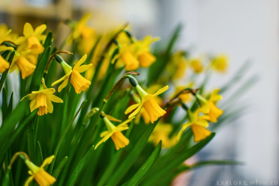 Welsh daffodils