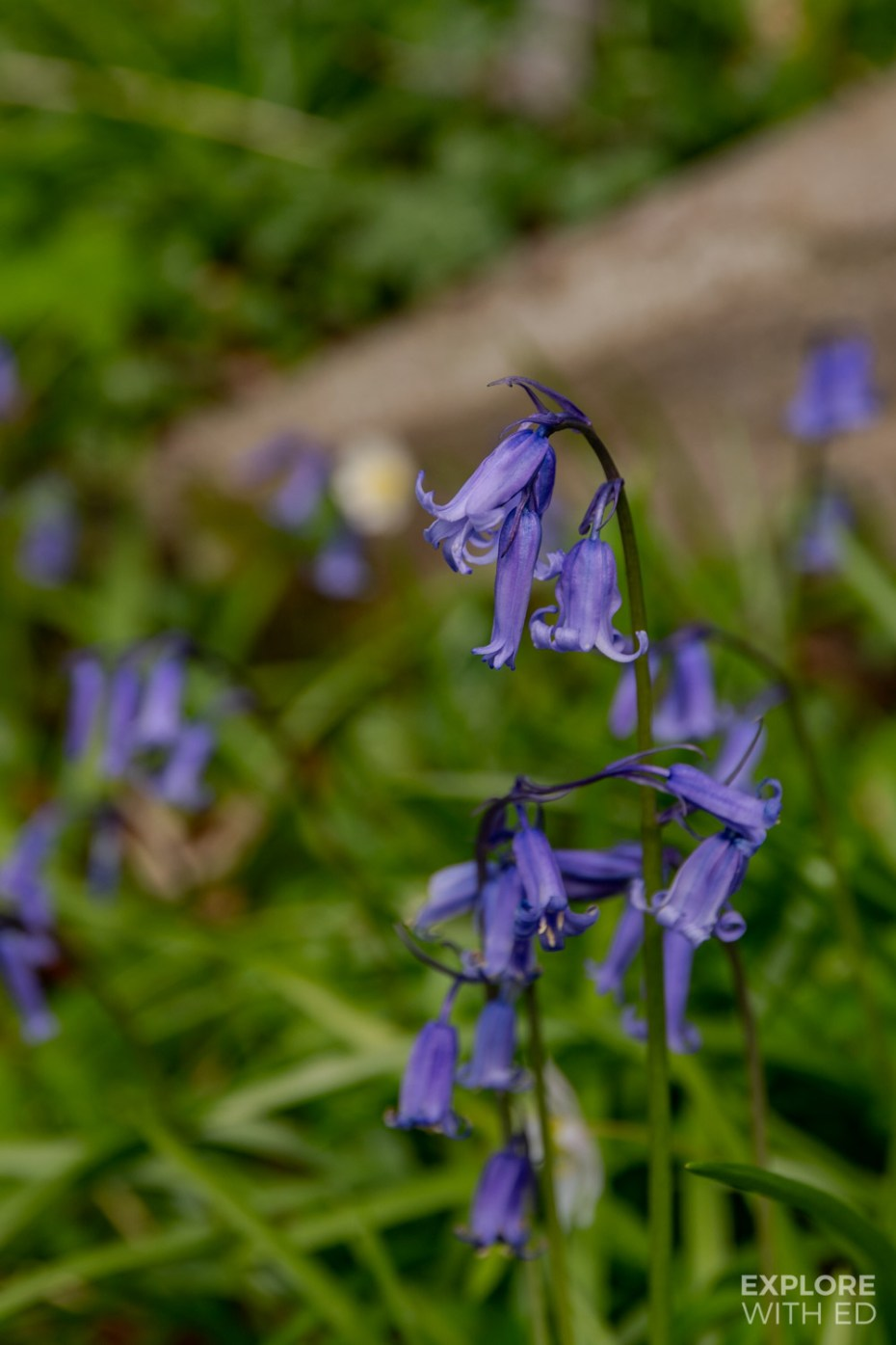 Bluebell woods in Painswick Rococo Garden