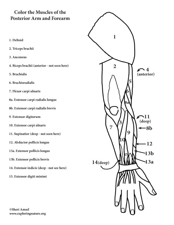 of the and forearm posterior