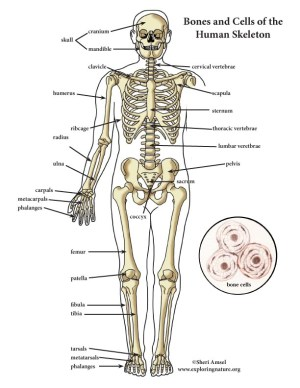 Skeletal System Color Diagram (MiniPoster)