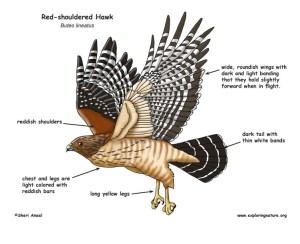 Hawk (Redshouldered)