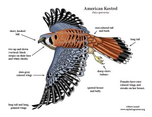 Kestrel (American)