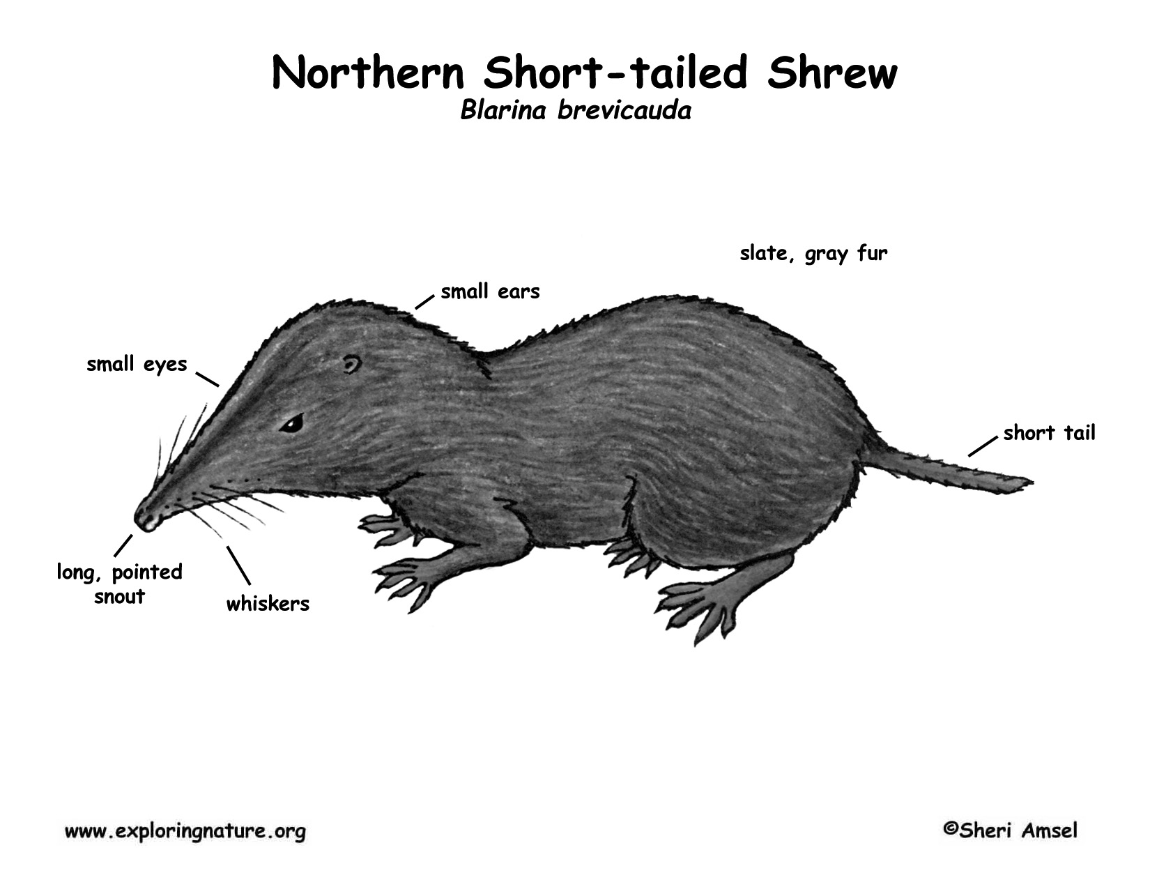 Shrew Northern Short Tailed