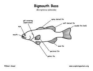 Bass (Largemouth)