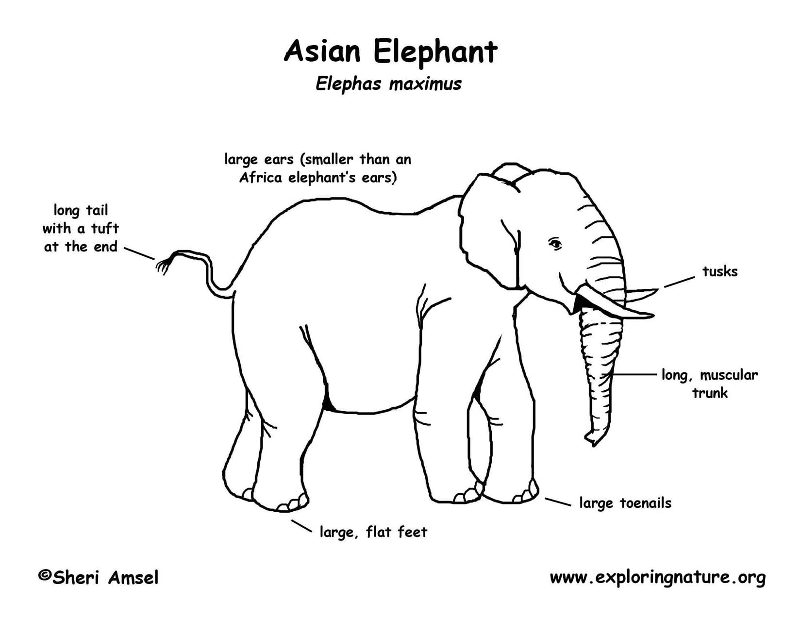 Elephant Asian Or Indian Elephant